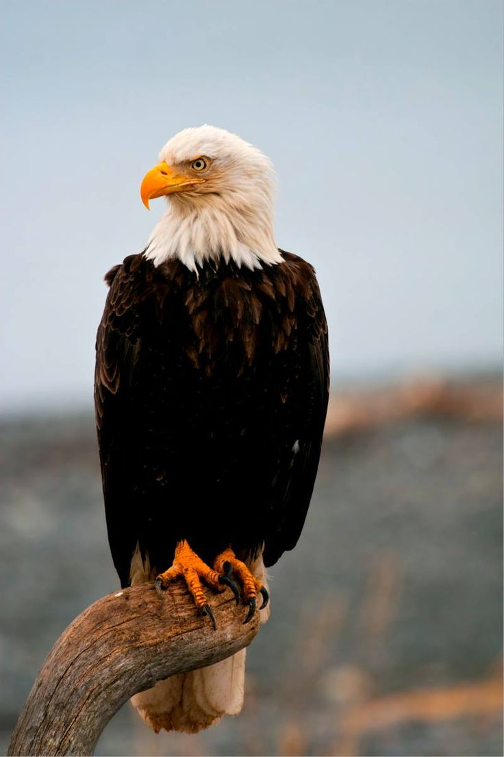 Best 10+ Bald eagle ideas on Pinterest | Eagles, Ice photo ...