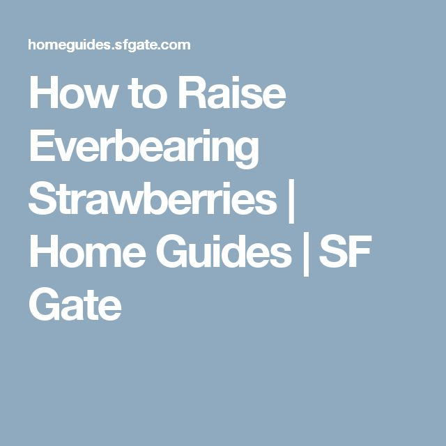 How to Raise Everbearing Strawberries | Home Guides | SF Gate