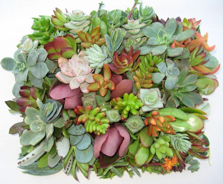 "ON SALE Succulent cuttings, succulent clippings, 20 different 1-5"" large succulent clippings succulent kit succulent garden succulent starte - $11.96 USD"
