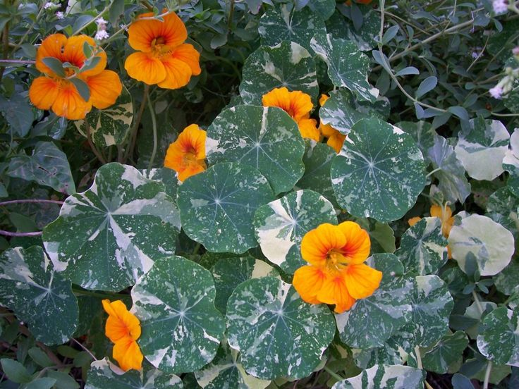 nasturtium seed 39 tip top gold 39 2 bedding border container drought tolerant edible full. Black Bedroom Furniture Sets. Home Design Ideas