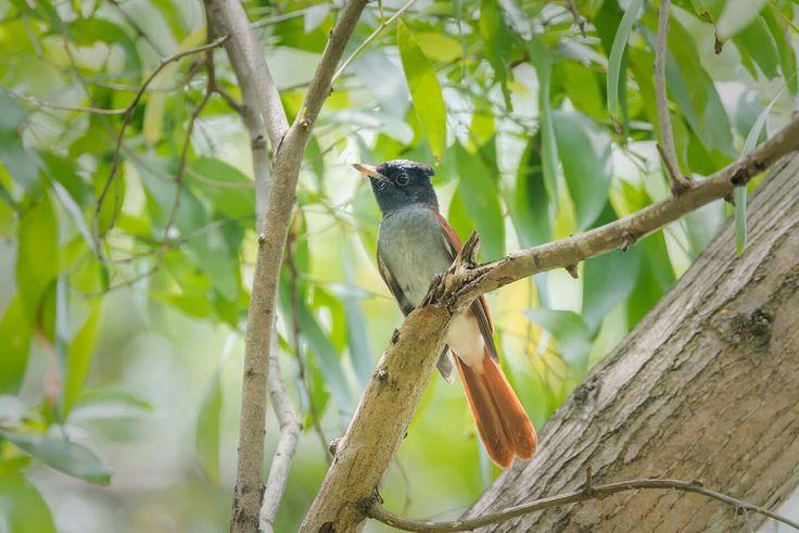 Amur Paradise Flycatcher #bird #flycatcher #nature #wildlife #Asian #Amur #Bidadari #photography #Nikon #telephoto