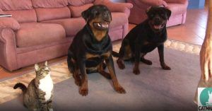 He Asked His Dogs To Roll Over. But Watch This Cat Steal The Show!