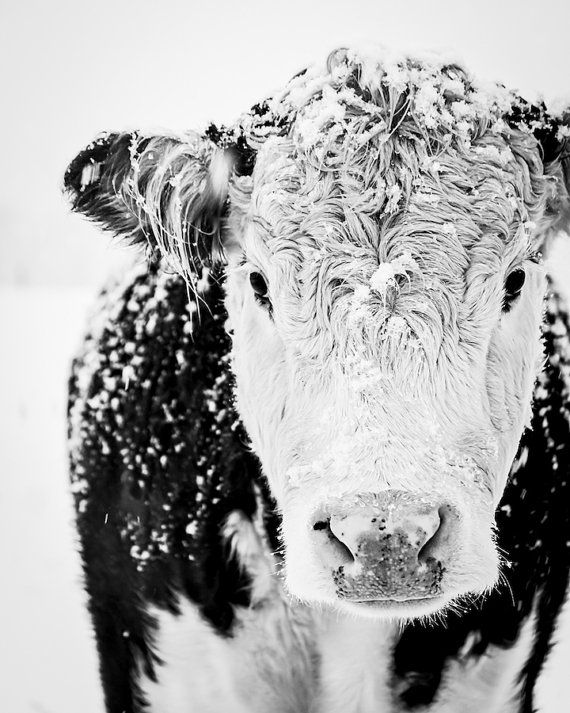 Cow Print, Cow Art, Black and White Cow Title: Black & White, Gentle Giant  I photographed this image in the most magical, hushed, and quiet snowstorm, they were beautiful and so curious. I loved the color as well as the classic black & white so Ive listed both versions. This print is available in several sizes, just select your choice from the drop down menu to the right as you place it in your cart. Available as a photographic print for you to frame or as a gallery wrapped canvas.  ...