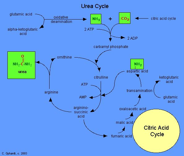 Urea Cycle with links to Citric Acid Cycle
