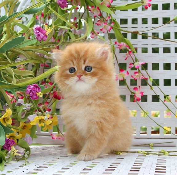 1000+ images about PERSIANS, HIMALAYAN! & RAG-DOLL KITTENS ...