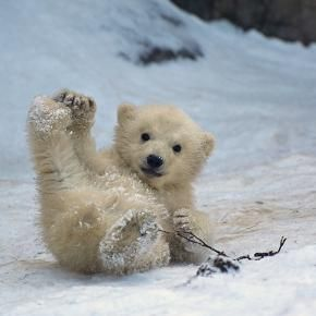 Sledding Polar Bear Cub :)