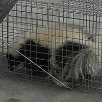 Skunk Trapping RI
