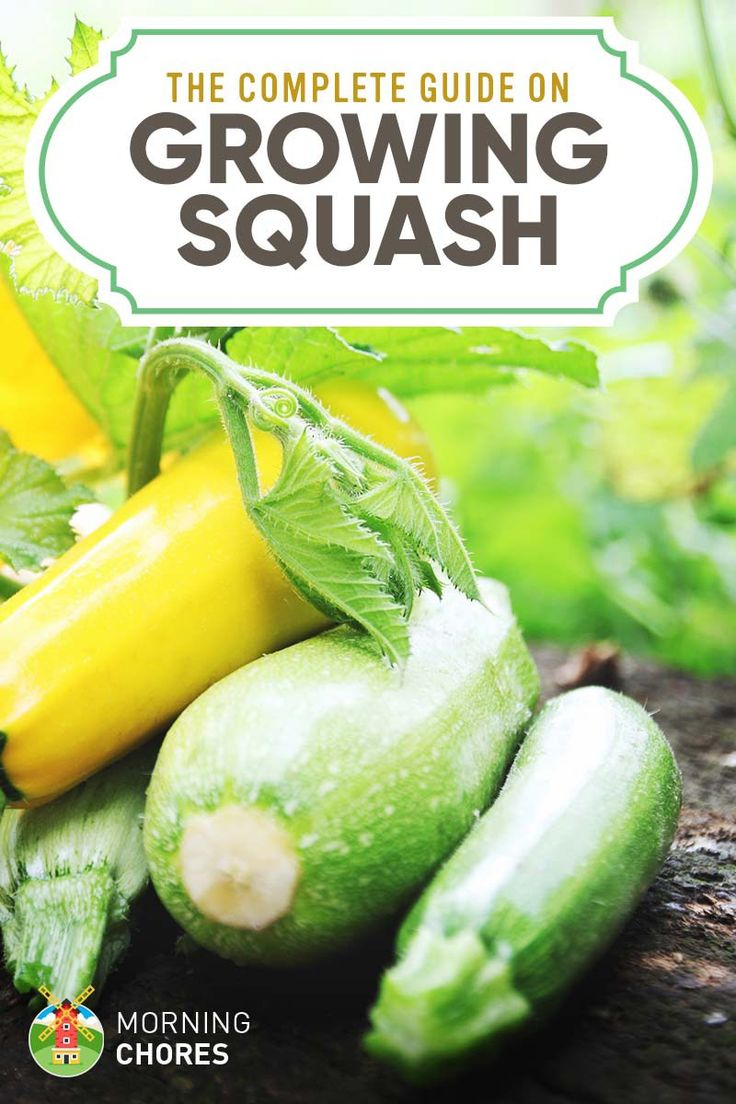 Growing Squash: The Complete Guide to Plant, Grow, & Harvest Squash