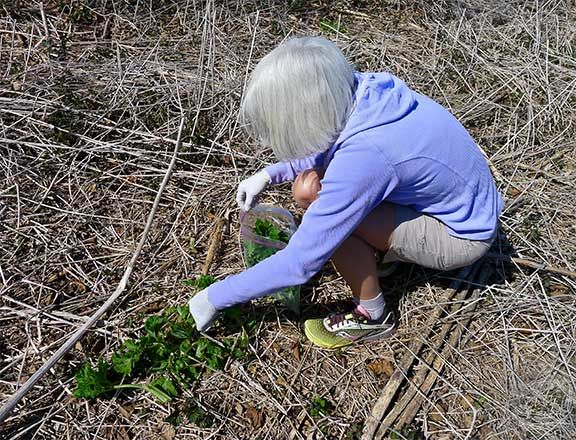 Harvesting Cow Parsnip in Anchorage, Alaska. Photograph by Laurie Constantino