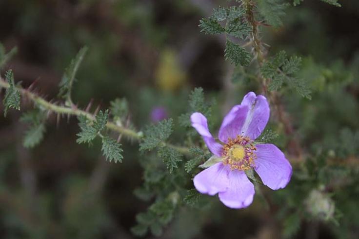 Rosa minutifolia  #BloomingNow #CaliforniaNativePlants