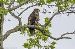 Immature Bald Eagle at Bombay Hook NWR
