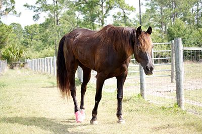 Helping Horses with Laminitis