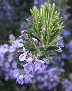DIY Shampoo Recipe (Castile soap and rosemary oil or tea) - I want to try this one.