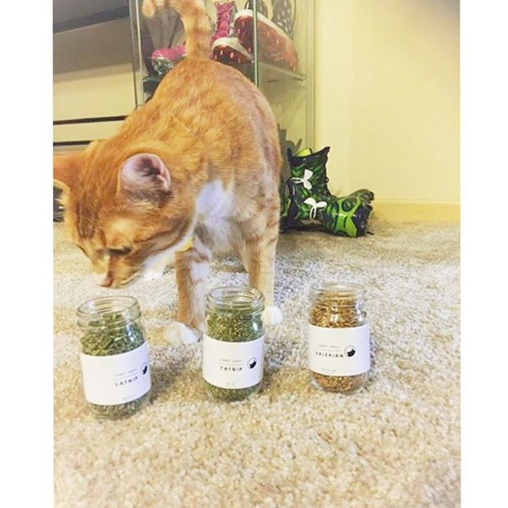"""""""Cash trying to figure out which catnip he loves the most!"""" - We approve of Cash's pre-game ritual! Have a great game tomorrow  Seahawks linebacker Kevin Pierre-Louis @mrhyde_24 adopted this ginger cutie 7 months ago from @seattlehumane  @tabbyjamesco"""