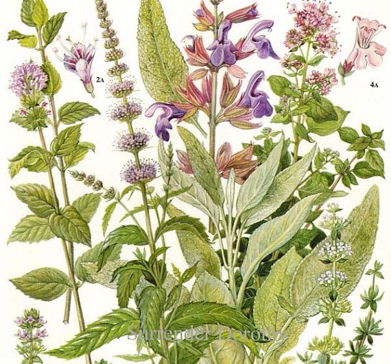 30 best images about Botanical illustrations on Pinterest