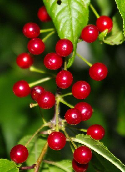 wild pincherry trees - Google Search