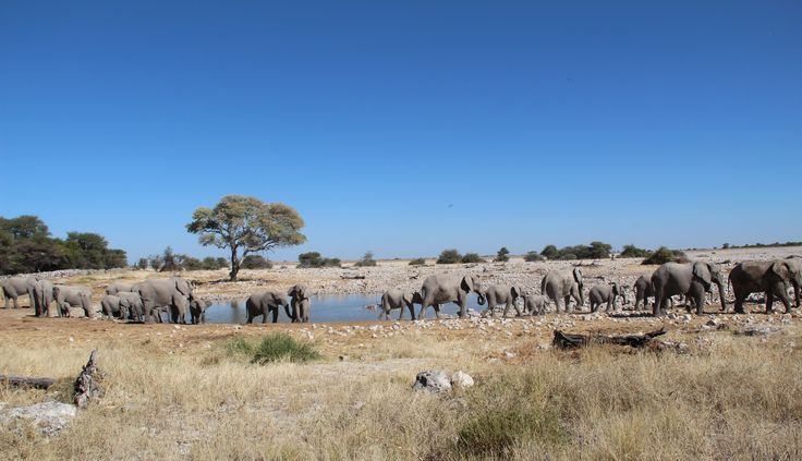 "Waterhole at Okaukuejo - ""You know ... they say an elephant never forgets. What they don't tell you is, you never forget an elephant."""