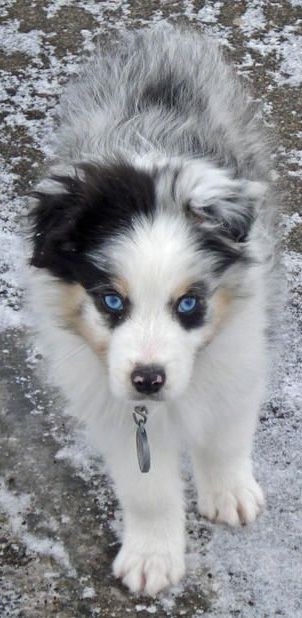 Blue eyed aussie puppy
