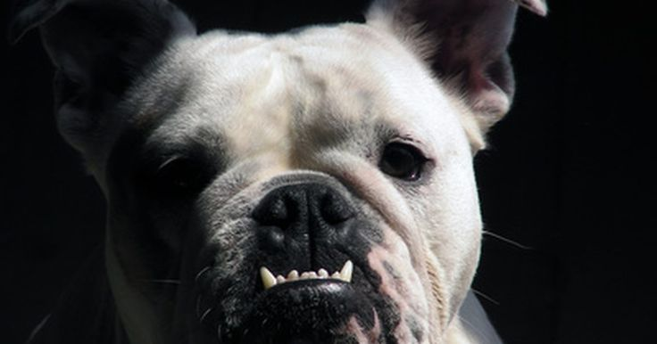 Progreso del peso en cachorros bulldog . Los propietarios o criadores deben registrar el peso de un perro diariamente para asegurar que el cachorro continua creciendo y ganando peso. Ningún aumento de peso significa un potencial problema de salud y requiere atención de un veterinario.