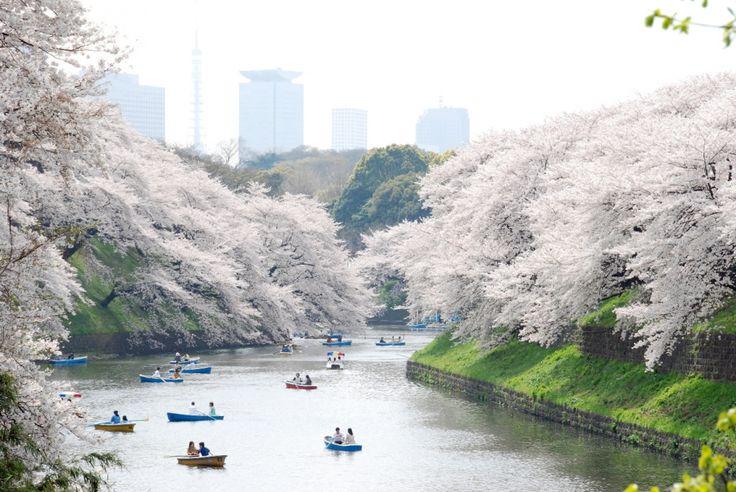 Kawachi Fuji, Ueno, and Hitsujiyama gardens during the cherry, phlox, and wisteria blossom season.