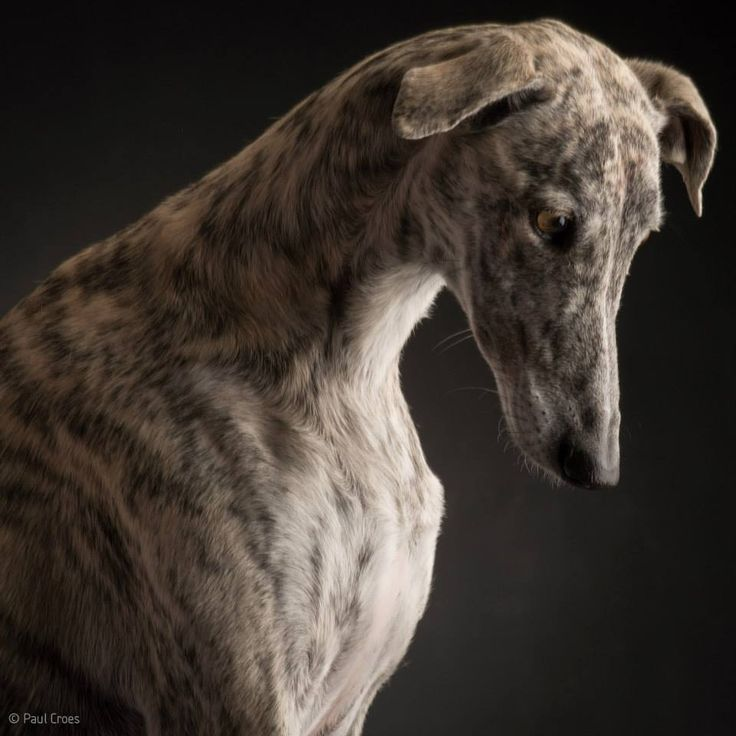 I Heart Whippets Facebook 1000+ images about Sig...