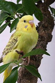Photo d'une perruche ondulée. La perruche ondulée, un des oiseaux symboles de l'Australie.