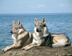El perro lobo checoslovaco es una raza canina relativamente nueva, y cuyo linaje original se remonta a un experimento llevado a cabo en 1955 en Checoslovaquia.