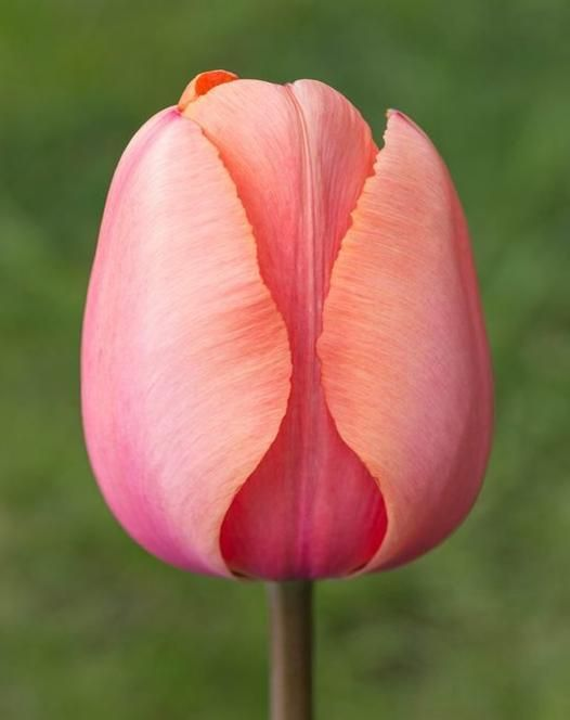30 best garden bulbs images on pinterest garden bulbs allium darwin hybrid tulips tulips autumn planting bulbs plants and mightylinksfo Gallery