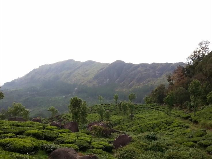 Tea gardens. Munnar