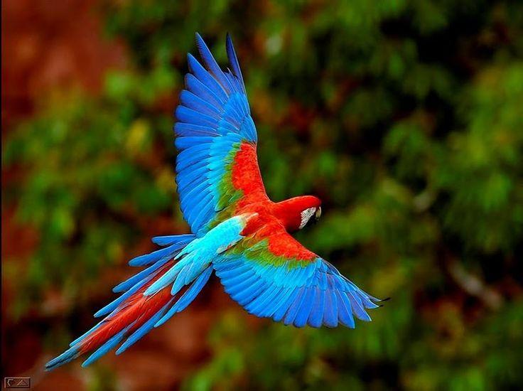 Flying Macaw, Costa Rica