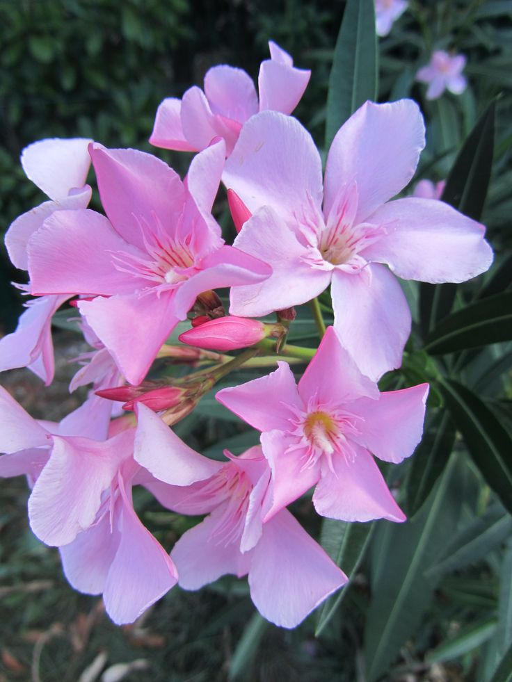 Nerium Oleander - That plant can keep you young!  http://bioderma.neriumproducts.com