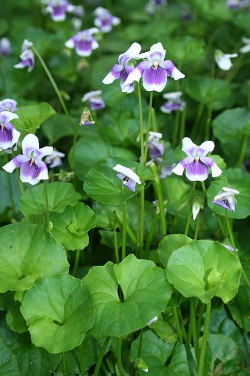 Native Violet laves and flowers