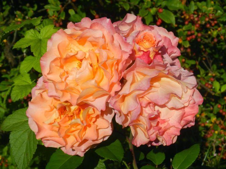 Hjertetunet: Roser i hagen nå