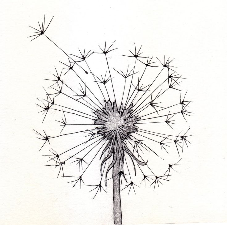 dandelion sketch                                                                                                                                                                                 More