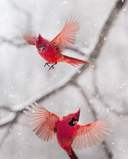 cardinals in snow via Lisa Bonchek Adams on Twitter