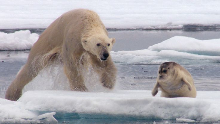 Hungry Polar Bear Ambushes Seal - The Hunt - BBC Earth