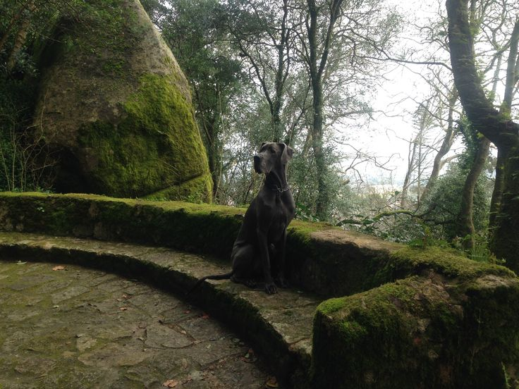 Near the Moorish Castle, in Sintra, Portugal #greatdane