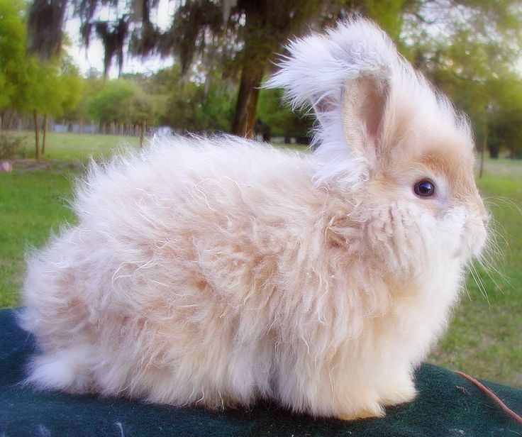 English Angora Rabbits - High Roost Ranch