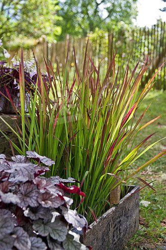 Imperata cylindrica Red Baron - japanese bloodgrass (ornamental grass for perennial gardens) and heuchera
