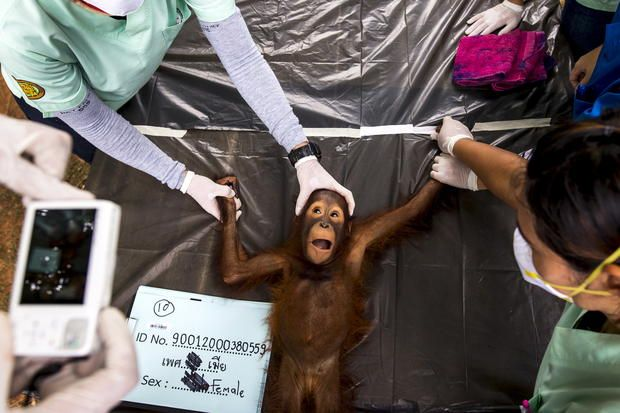 Thailand - orangutan health exam - Photos of the week - The week in pictures - August 22-28, 2015 - Pictures - CBS News