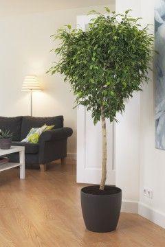Appelé aussi « figuier pleureur », le Ficus benjamina capte le formaldéhyde, le xylène et l'ammoniac. C'est un petit arbre élégant facile à conserver dans une pièce bien éclairée. - See more at: http://www.espritsciencemetaphysiques.com/top-18-des-plantes-d-interieur-pour-la-purification-de-lair-que-vous-respirez-selon-la-nasa.html#sthash.Xr7nGRlH.dpuf