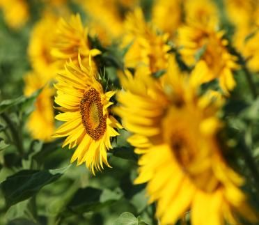 Growing and Harvesting Sunflowers