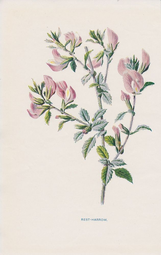 1897 antique Rest-Harrow flower lithograph print by Hulme.