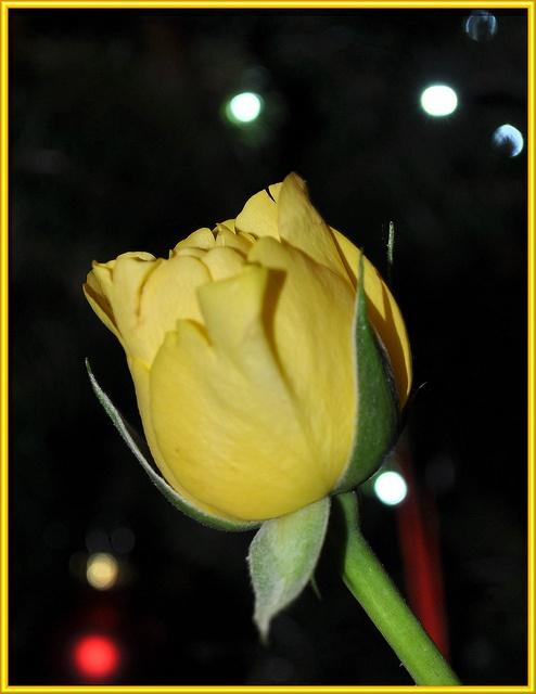 Christmas Rose by littlestschnauzer, via
