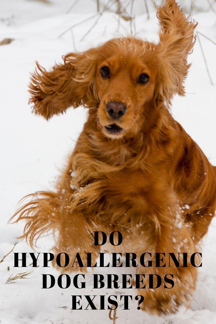 Hypoallergenic Dog Breeds Poodle Cross Breeds Hypoallergenic