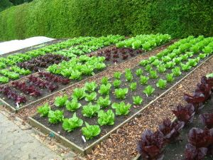Nice contrasting colors in raised beds