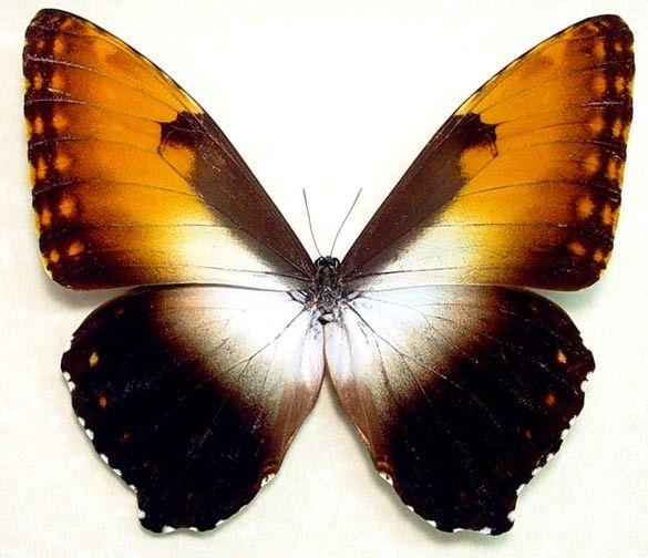 Real Framed Giant Orange Morpho Rare Butterfly