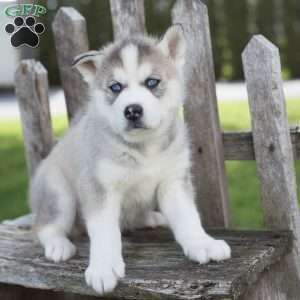 siberian husky puppies price - The Cutest Puppies