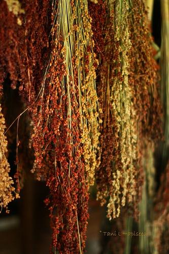 multicolored broom corn, makes great fall decorations