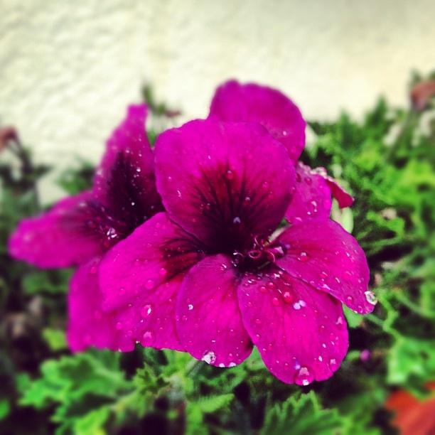 Geraneo en flor  ©www.aunioncreatividad.com